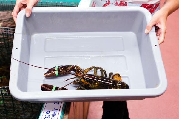 Choix du homard à manger Hall's Harbour