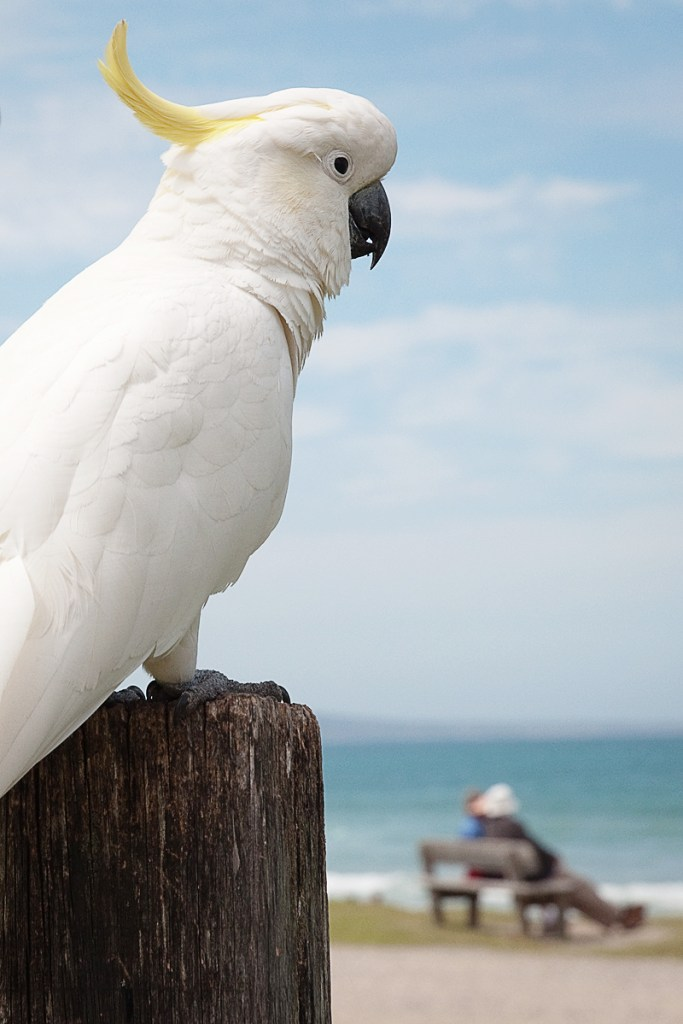 Cockatoo Australie