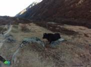 de mon premier yak... :-)