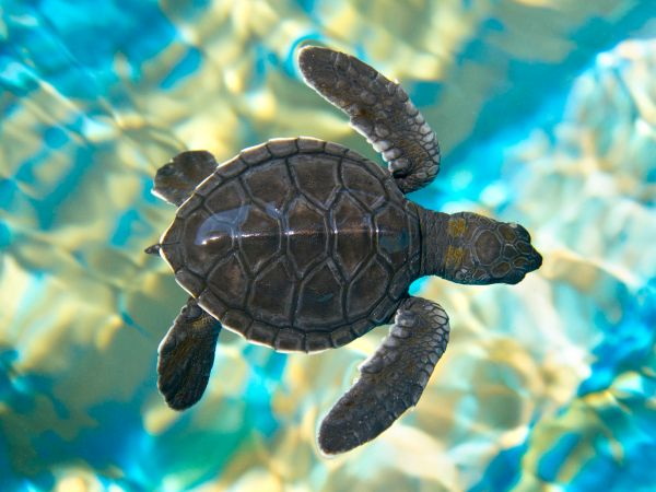 26144430 – baby sea turtle swimming in water