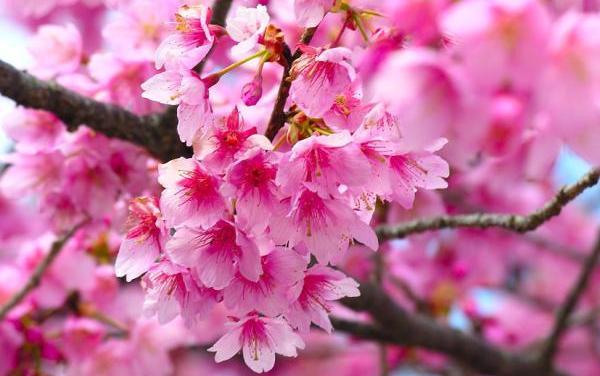 ญี่ปุ่นมอบต้นซากุระให้อุทยานหลวงราชพฤกษ์