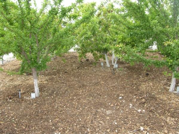 Surface mulches work best under fruit trees in Las Vegas  Las Vegas ReviewJournal