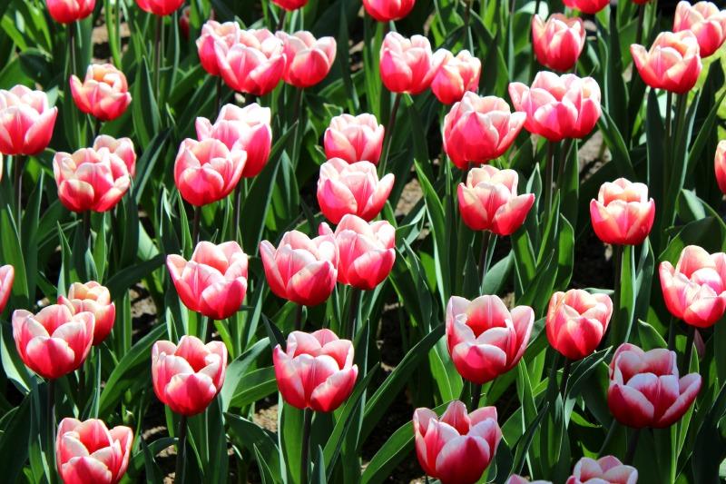 Keukenhof - Donkerroze tulpen