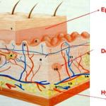 Saiba tudo sobre a anatomia da pele. Dica de prova Revisamed