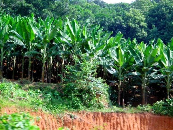 Bananas growing near a stream. Image credit MediaWiki.