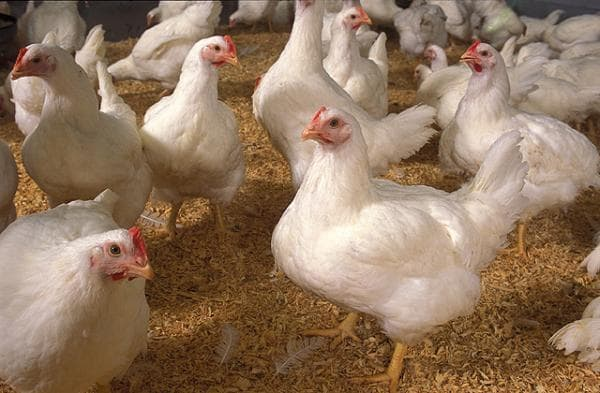 Broiler chickens. Image credit algaeworld.org