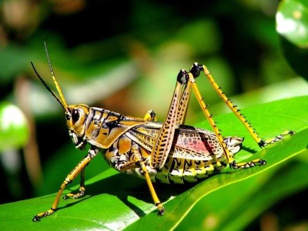 A grasshopper. Image credit nutrainigridients.com
