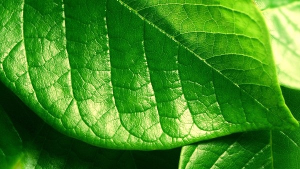 A green leaf. Image credit wallconvert.com