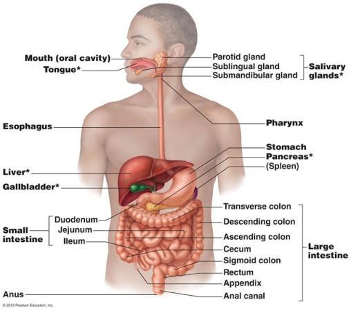 The human digestive system. Image credit airurbano.com