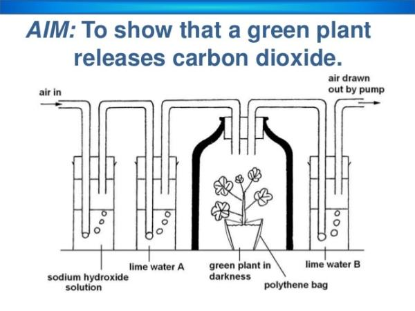 Respiratory chain with a plant instead of a rat. Image credit slideshare.net
