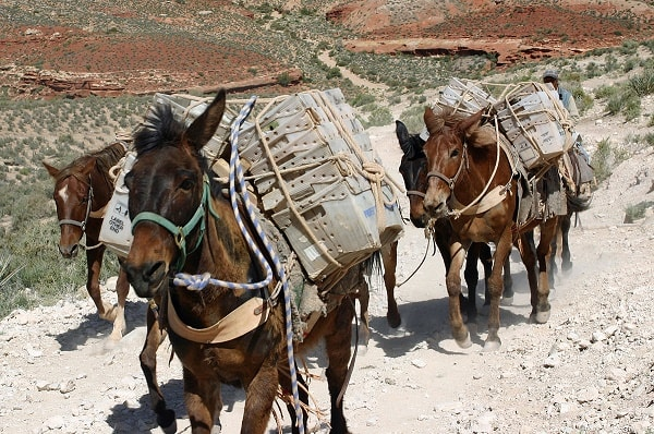 Mules carrying packs. Image credit MediaWiki