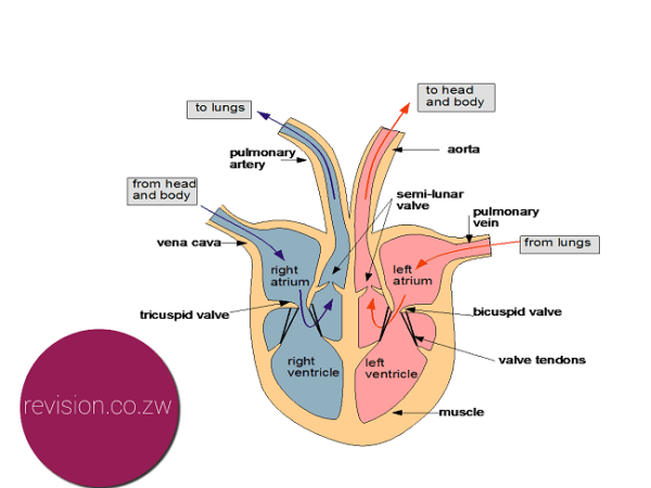 The mammal heart free zimsec revision notes and past exam papers zimsec o level combined science notes the mammal heart ccuart Choice Image