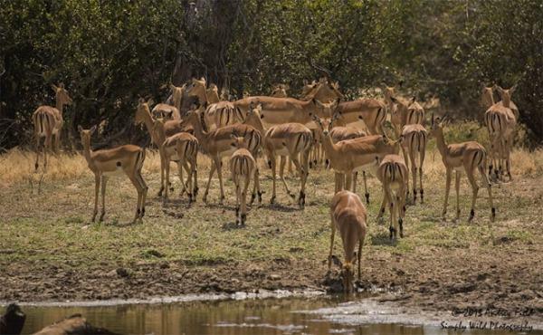 Impala ecosystem