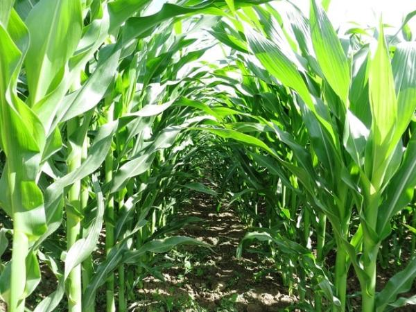 A maize field is an example of an artificial ecosystems. Image wordpress.com