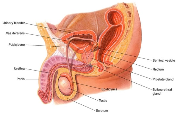 Male reproductive system. Image credit goldiesroom.org