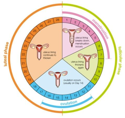 The menstrual cycle free zimsec revision notes and past exam papers the menstrual cycle ccuart