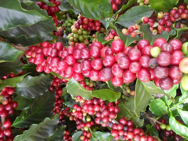 Resultado de imagem para fertirrigação café