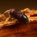 Escolitido escarabajo enfermedad olmos