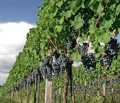 Casa Valduga inicia temporada da vindima onde hóspedes aprendem a colher uvas