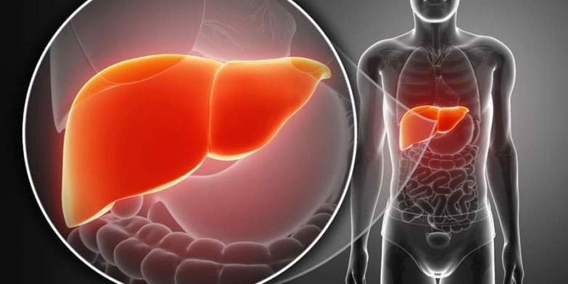 identificada una proteína clave en el correcto funcionamiento del hígado