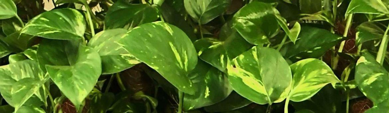 una planta de interior que limpia el aire del hogar