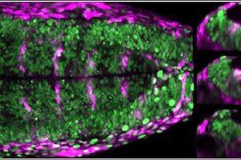upf – destino celular durante la formación del cerebro