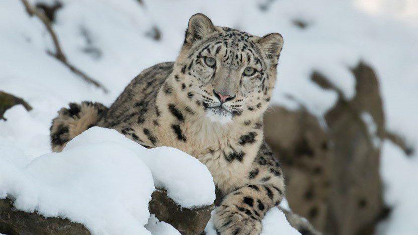 La Inteligencia Artificial ayuda a salvar a los leopardos de las nieves de su extinción