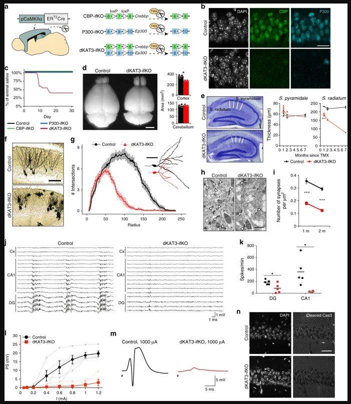 umh-csic, por qué las neuronas mantienen su identidad a lo largo de toda la vida