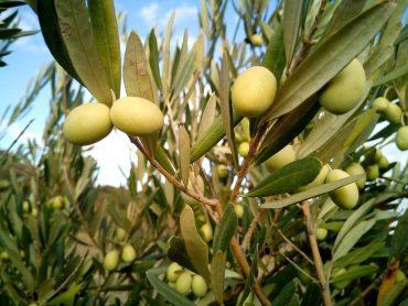 la mosca del olivo