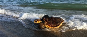 seguimiento vía satélite hembras de tortugas bobas