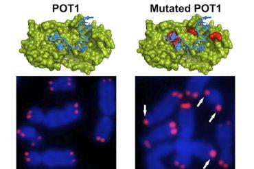 cnio, participación de los telómeros en la generación de tumores