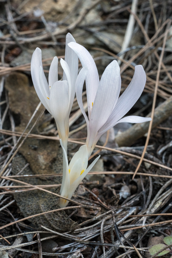 A Colchicum species, perhaps C. balansae, flowering in just one small patch. Göynük Canyon, SW Turkey.