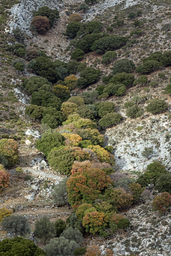 Autumn colour on Acer monspessulanum in a south-facing gulley on Mount Zas, Naxos, 4/1/16.