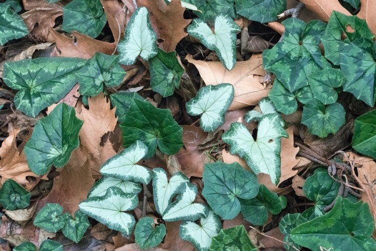 Cyclamen hederifolium, Therma, Samothraki, 18/1/16.