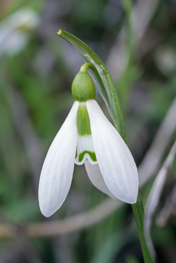 Galanthus fosteri, near Amasya, 7/3/16. Variation in flower shape and inner segment markings.