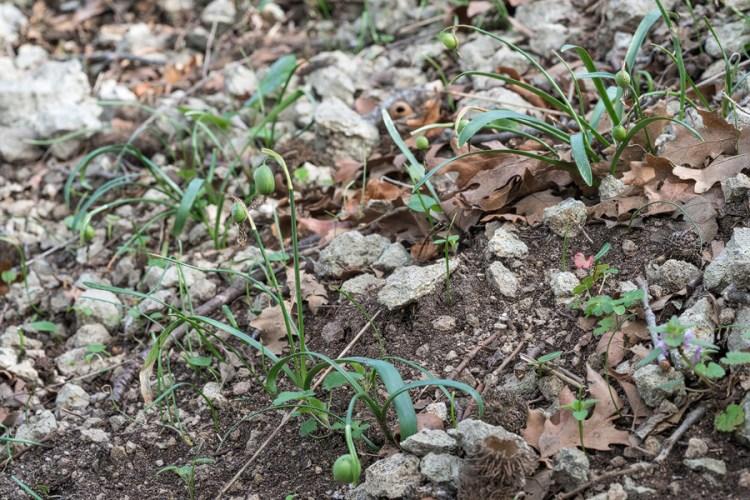 Galanthus trojanus, setting seed, 8/3/16, NW Turkey.