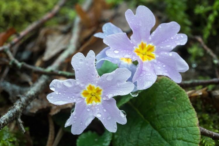 Primula heterochroma. Mauve flowered form. Southern Azerbaijan, 17/2/16.