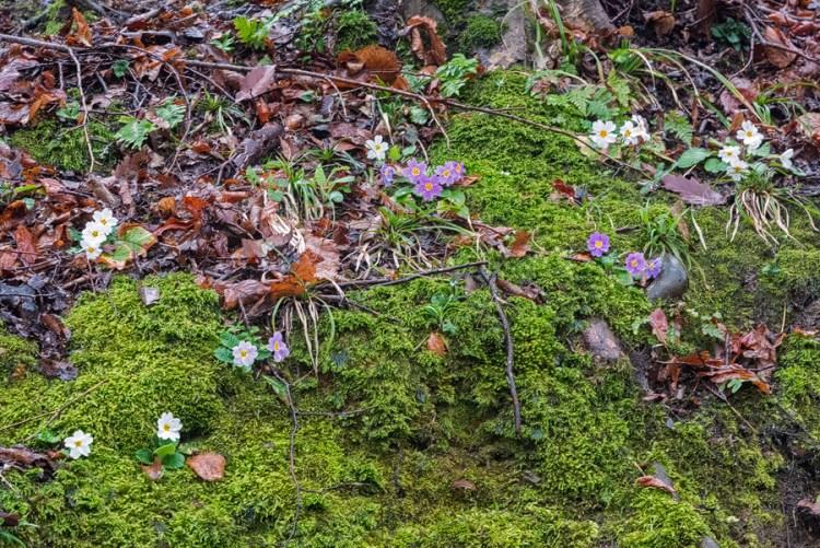 Primula heterochroma. Various colurs, including dark pink. Southern Azerbaijan, 17/2/16.