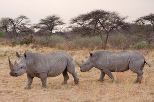 Rhinos, an endangered species
