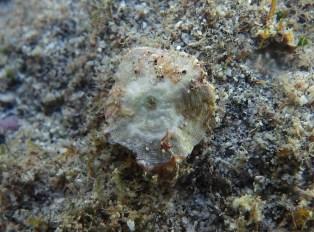 Le foraminifère «sait» fabriquer des chausse-trappes à partir du mica recueilli au fond de l'océan pour attraper les petites proies dont il se nourrit.
