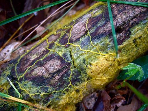 Plasmode de Physarum polycephalum (en jaune) formé sur une écorce d'arbre