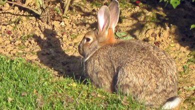 Deux cents millions de lapins de garenne ont envahi l'Australie.