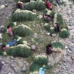 Washing onions (Panajachel) —Maya Moore