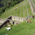 Llamas graze on once agricultural terraces