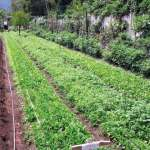 Latest crops at Caoba Farms