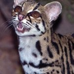 A skillful climber, the margay prefers the rainforests