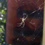 World wide web of the Orb Weaver —Jennifer Rowe