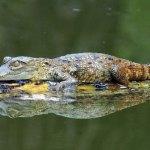 Young crocodile suns himself at Yaxhá Lagoon. (photo by Thor Janson)