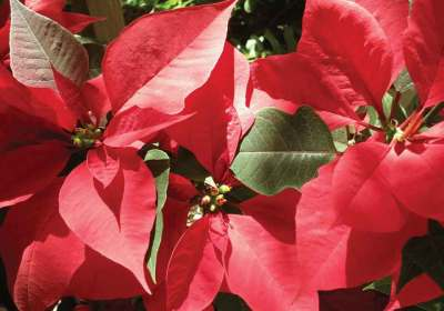 Poinsettias are native to Mesoamerica (Rudy Girón)