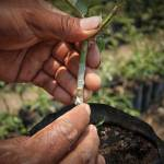 Roses are transplanted through grafting (image by photos.rudygiron.com)